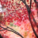 japanese_red_maple_trees