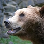bear_profile